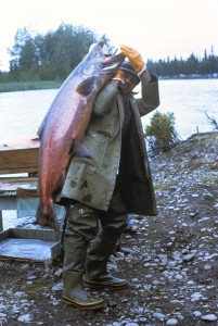King Salmon catch in Alaska