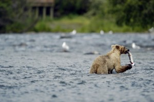 bear in Alaskan river catching salmon