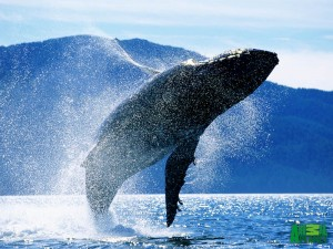 humpback-breaching Alaskan fishing