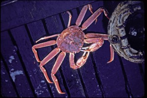 Alaskan Tanner Crab or Snow Crab
