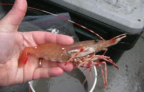 Alaskan Spotted Shrimp